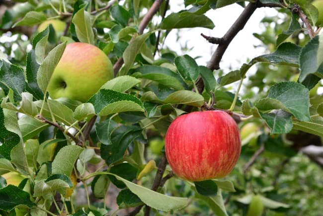Closeup of apples growing on a branch that closely resemble apples of a Pacific Rose Apple tree.