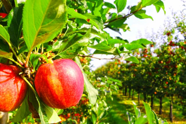 An orchard setting of apple trees with reddish yellow apples very similar to Haralson Apple trees