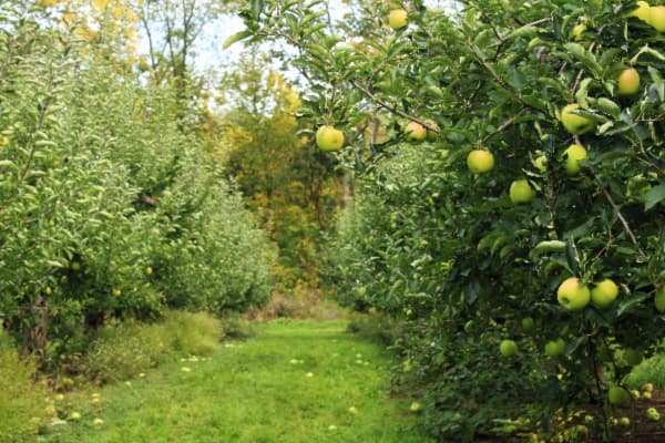 Orchard row of trees with yellowish green apples that resemble the Mutsu Apple tree