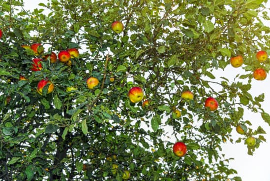 Apple tree with red, yellow, and green colored apples.