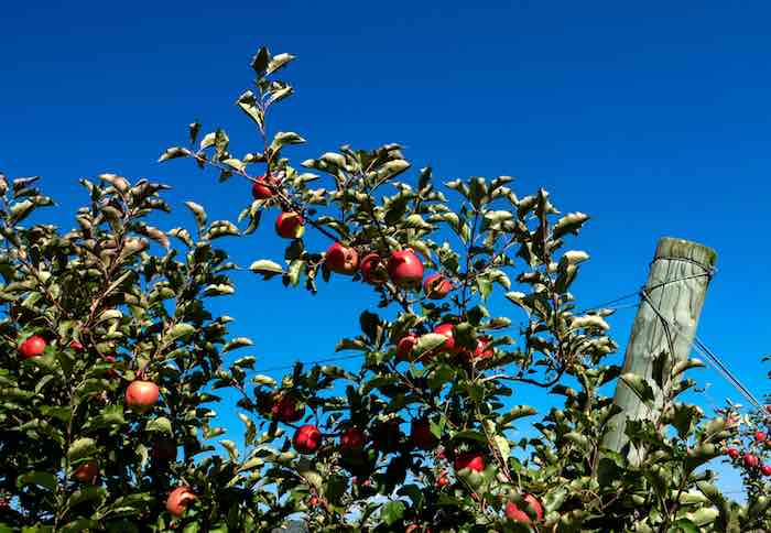 Bright red ripe apples on an apple tree in Maryland.