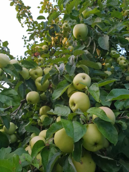 Pale yellowish green apples growing on a tree in Riga, Latvia -- the tree looks very similar to a White Transparent Apple tree.