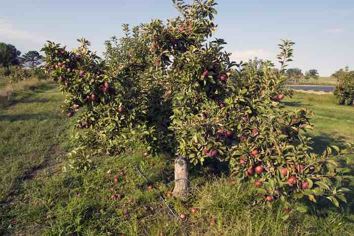 Heirloom apples growing at one of the best apple orchards in Arkansas.
