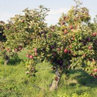 An Arkansas Black Apple tree with very dark red apples.