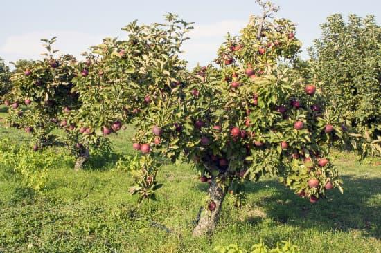 An orchard of Arkansas Black Apple trees.