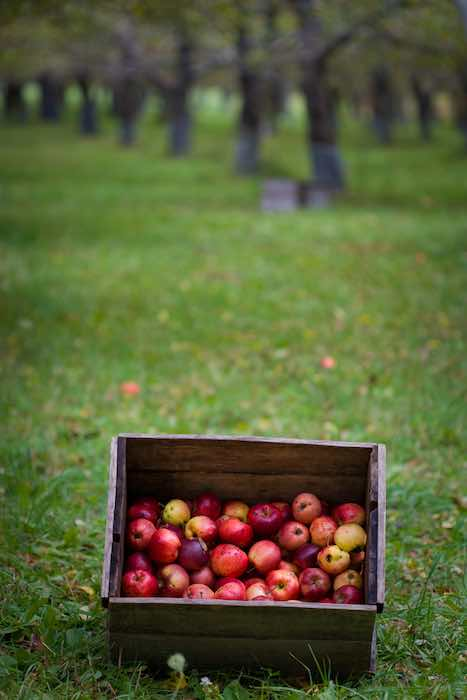 A box of freshly picked organic apples at one of the best apple orchards in Maine.