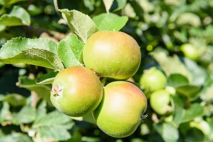 Bramley apples growing on apple trees.