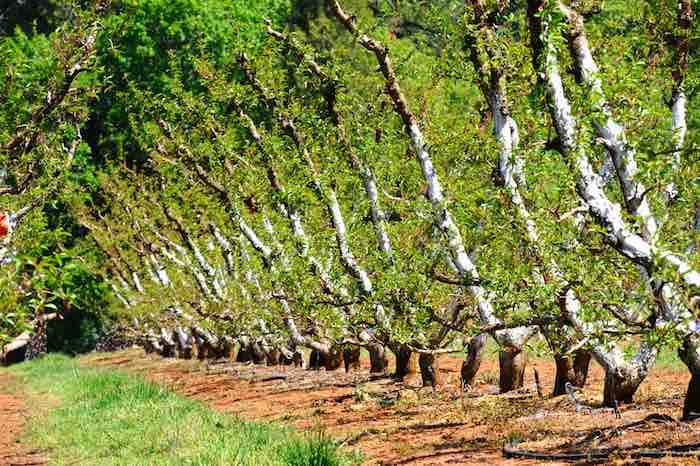 Manicured Apple trees in the California foothills.