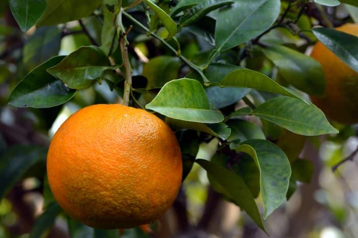 Citrus aurantium fruit.