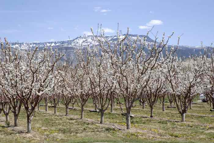 Apple Blossoms and the Grand Mesa. Great view at one of the best apple orchards in Colorado.