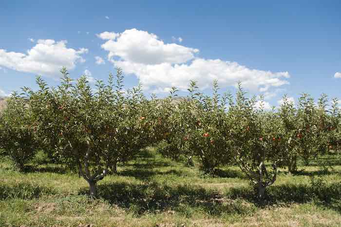 One of the best apple orchard in Colorado with ripe apples on the trees.