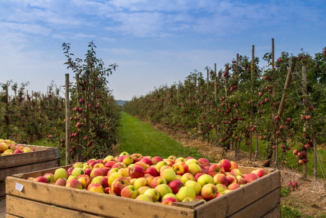 Apples in a commercial orchard setting similar to Koru apples.