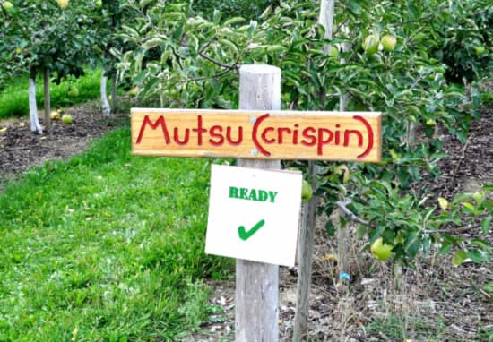 """An orchard sign reading """"Mustu (crispin)"""" with Crispin Apple trees behind it."""