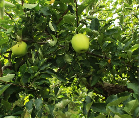 Crispin Apple tree branches with yellowish green apples on them.
