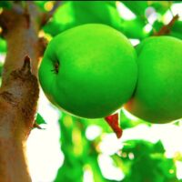 Two green apples on a Crispin Apple tree branch.
