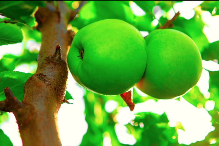 Closeup of green Crispin apples growing on a Crispin Apple tree.