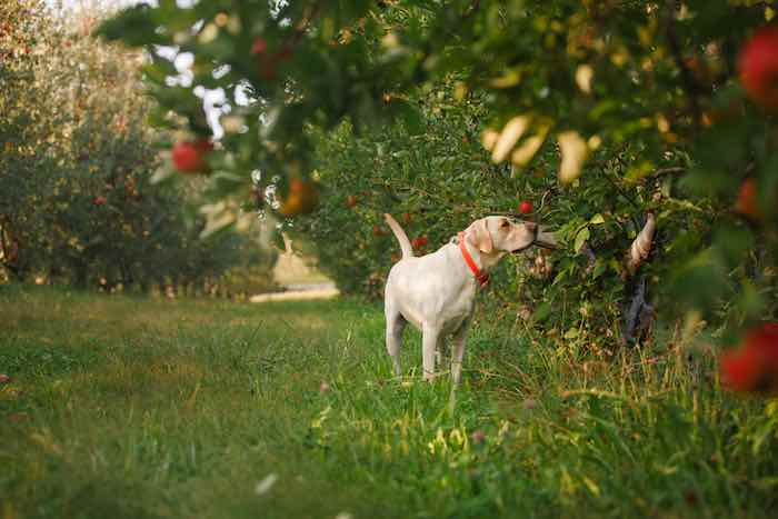 A dog sniffing apples at an orchard.