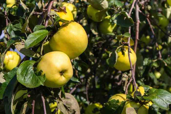 Yellow apples on apple tree.