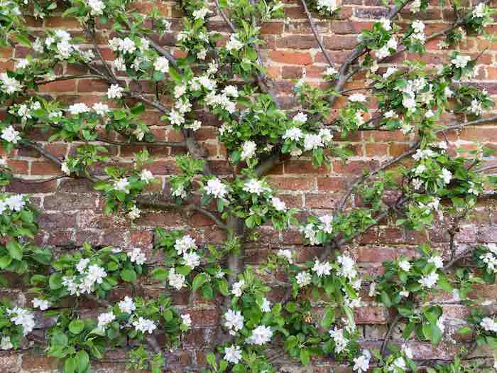 Espalier apple tree trained to grow up against a wall.