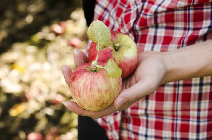Closeup of girl's hand holding two reddish yellow picked apples.