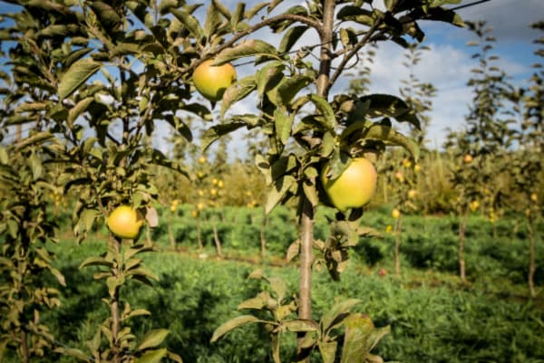 Gold apple trees in a commercial orchard setting.