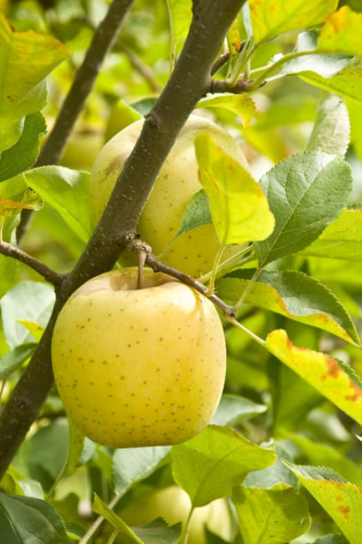 Closeup of golden apples on branch  -- closely resembles the fruit of a Honeygold Apple tree.