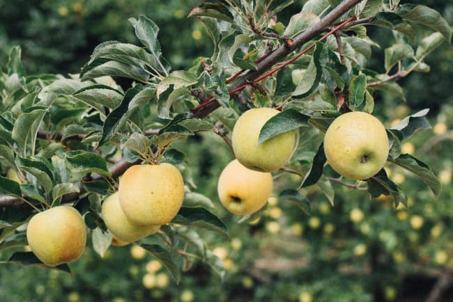 Tree branch with golden apples on it that closely resemble the fruit of a Honeygold Apple tree.