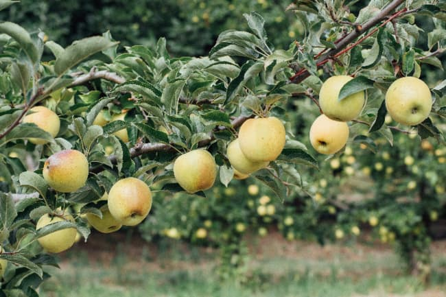 Apple tree with golden apple that closely resemble the fruit of the Grimes Golden Apple Tree.