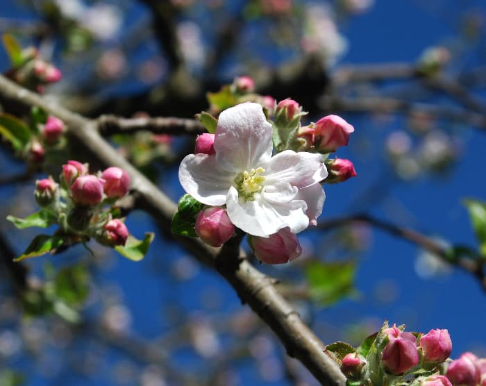 Closeup of a white blossom of the Gravenstein Apple tree.