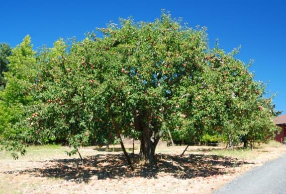 Mature, wide-spreading Gravenstein Apple Tree.