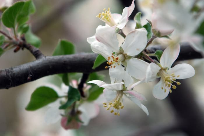 Closeup of a white Haralson Apple tree blossom.