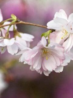Higan cherry tree blossom.