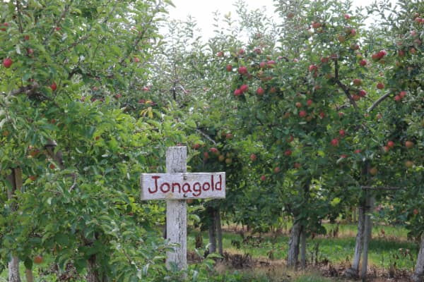 """An apple orchard with a rustic sign with """"Jonagold"""" painted on it -- signs such as this are a common sight at many of the best apple orchards in Missouri."""