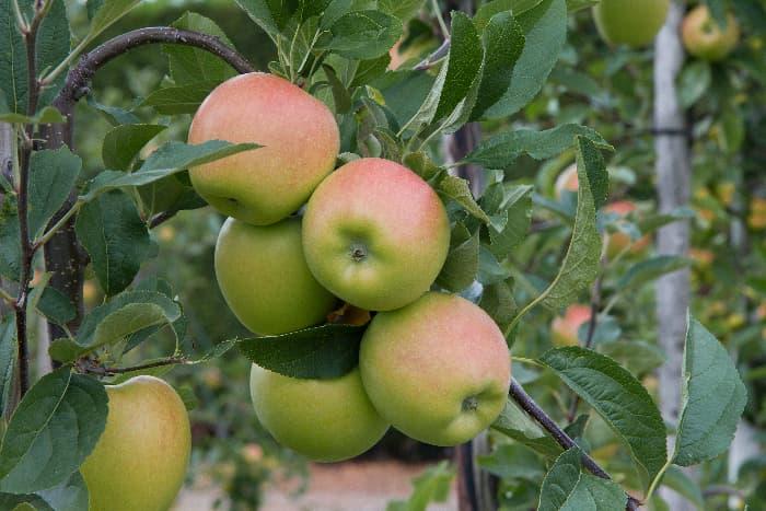 Closeup of apples growing on a Kanzi Apple tree.