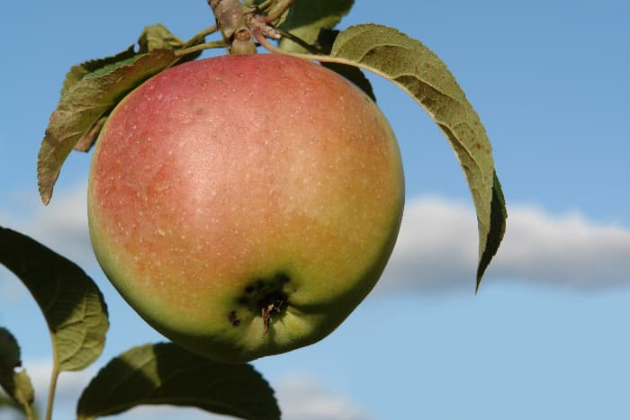 Large red and green apple that closely resembles the fruit from the Wolf River Apple tree.