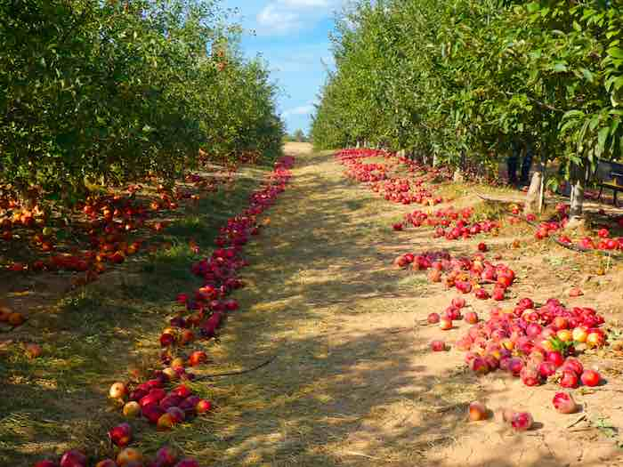 Trail with rows of apple trees in one of the best apple orchards in Maryland.