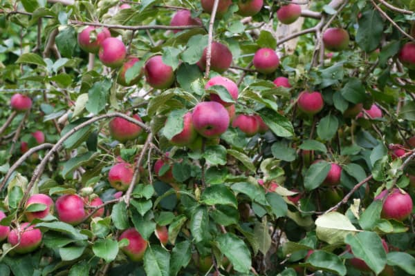Closeup of a Paula Red Apple tree.