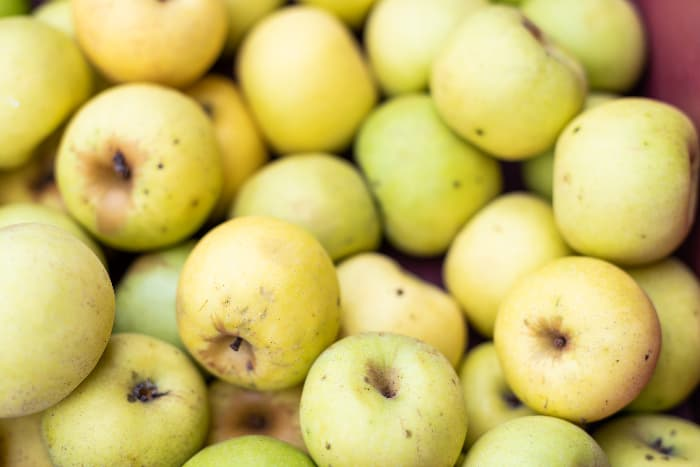 Closeup of picked golden apples that very closely resemble Grimes Golden Apple Tree apples.