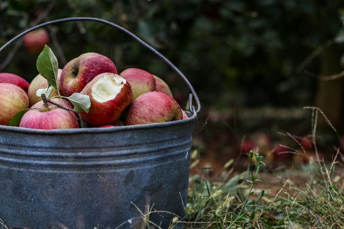 Bucket of picked Stayman apples partially in view -- one of the apples has a bite taken out of it to show the flesh.  An out-of-focus orchard setting is in the background.
