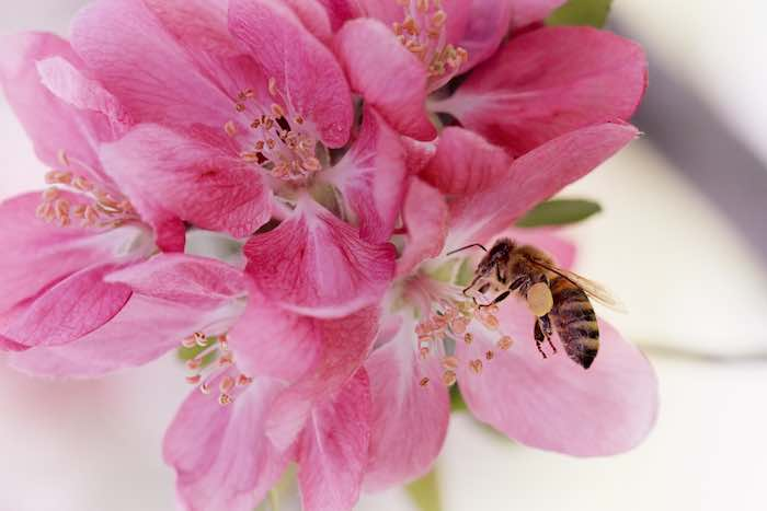Honey bee pollinating a pink apple blossom.