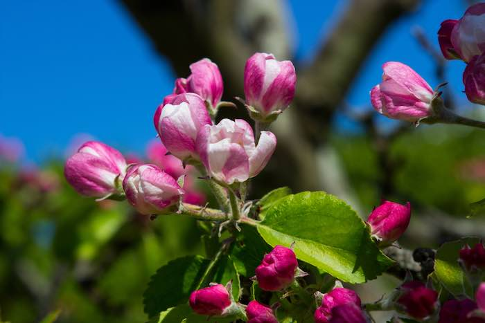 Beautiful pink and white Apple Blossoms in Spring.