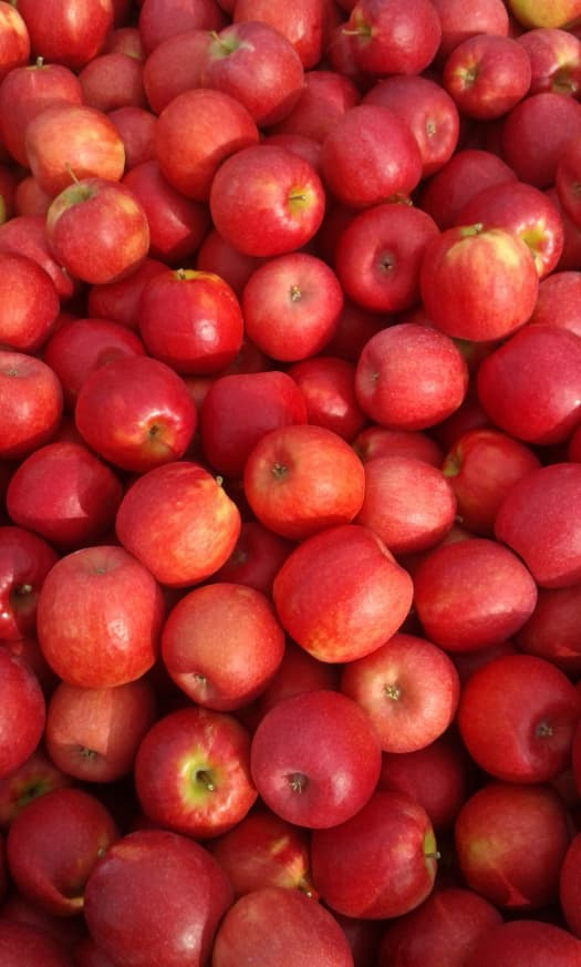 Closeup of picked pinkish red apples that closely resemble the apples of the First Kiss Apple tree
