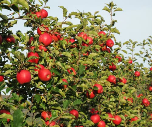 Apple tree in full sunlight with many pinkish red apples on it that are similar to the apples of a First Kiss Apple tree