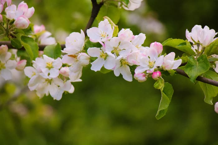 Closeup of pinkish white apple blossoms similar to the blossoms of the Honeygold Apple tree.