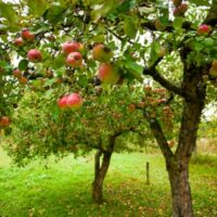 Red and green apples on trees are a sight visitors can expect on a visit to one of the best apple orchards in Missouri.