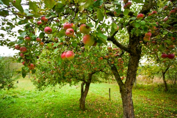 Red and green apples on orchard apple trees -- what visitors to one of the best apple orchards in Missouri can expect to see.