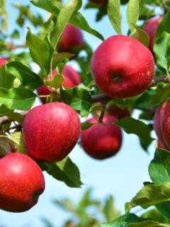 Apple tree branch with red apples that resemble the fruit of the SnowSweet Apple tree