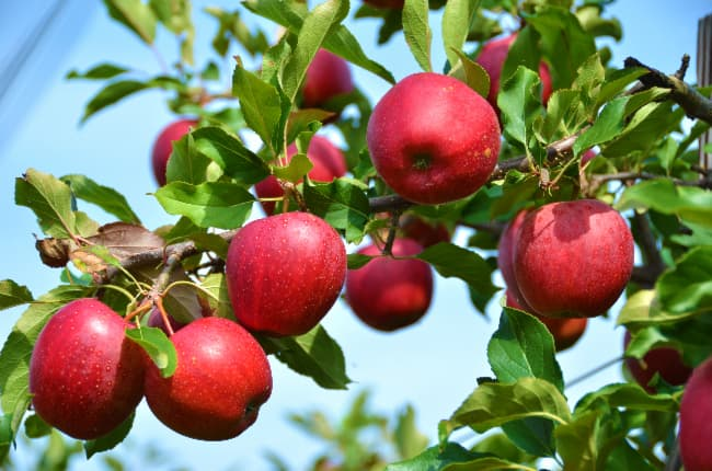 Closeup of an apple tree branch with round red apples that are similar to the fruit of a SnowSweet Apple tree