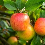 Red and yellowish green apples similar to Tompkins King Apple tree apples.
