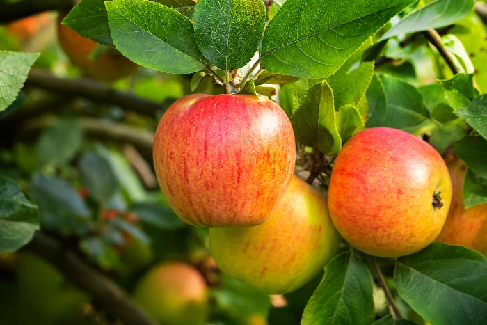 Red, yellow, and green apples, like the Tompkins King apple.